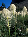 Beargrass Study3