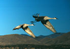 Sandhill Cranes in flight assume an unconscious choreography.