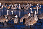In early morning, a group of Sandhill Cranes stand in a nearly frozen pond..