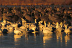 Early morning light , Snow Geese and cranes in northern Bosque del Apache..