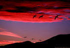 A spectacular sunset and silhouetted Snow Geese in northern Bosque del Apache.