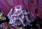Purple Social Feather Duster Worms at the base of a matching Sea Fan, Little Cayman Island, BWI