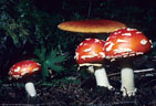 A group of 'Fly Agaric' Mushrooms (Amanita muscaria); toxic, but colorful.