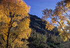 Cottonwood Trees in Fall Colors, among giant Sahuaros. - Sabino Canyon, Arizona