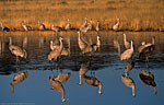 Group of Sandhill Cranes reflected in the still water.