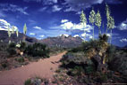 An old ranch road  leads through blooming Yuccas, toward the western Organ Mountains of southern New  Mexico