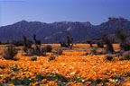 An expanse of Mexican Goldpoppies on the eastern slopes of the Organ Mountains.
