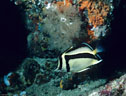 A Sythemark Butterfly Fish in the deep water off Isla Champion, Islas Galápagos, Ecuador