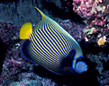 Imperial Angelfish in a cave at Taveuni, Fiji