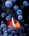 "Tomato Clownfish in ""Eyeball' anemone, Astrolabe Reef, Kadavu, Fiji"