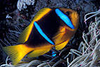 Twin-barred Anemone Fish in pink tipped Anemone, Astrolabe Reef, Kadavu, Fiji