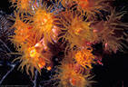 A group of Orange Hard Corals expanded for nighttime feeding at Astrolabe Reef, Kadavu, Fiji