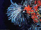 A feeding Crinoid with Red Encrusting Sponge indicates fast currents.  Astrolabe Reef, Kadavu, Fiji