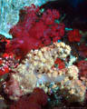Indo-Pacific Underwater Gallery III - Soft corals from Fiji and the Coral Sea