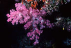 A delicate rose colored Soft Coral from Astrolabe Reef, Kadavu, Fiji