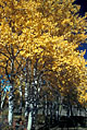 A pattern of golden aspen leaves contrast pleasantly with the light colored bark.