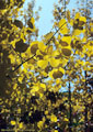 Aspen leaves in fall colors form a delicate pattern. Access road to East Dallas Creek.