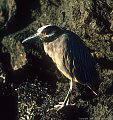 Night Heron and lava rock, James Island, Islas Galápagos, Ecuador