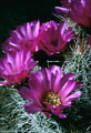 The striking flowers of the Echinocereus stramineus, or Purple Hedgehog Cactus - Southern Organ Mountains