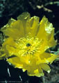 A large flower of the Engelmann Prickly Pear, off the trail to Fillmore Falls, near Dripping Springs.