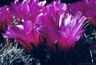 Flowers of the 'Straw Cactus',  Echinocereus stramineus.  These Cacti form large clumps in the southern Organ Mountains.