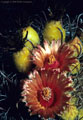 Flowers and fruit of the New Mexico Barrel Cactus - Western Organ Mountains