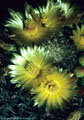 Exceptionally large and beautiful flowers of the New Mexico Barrel Cactus. - Western Organ Mountains