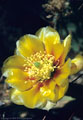 A Blossom of the Long Spined Prickly Pear