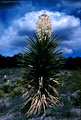 Afternoon stormclouds and a blossoming Mountain Torrey Yucca.  Western Organ Mountains