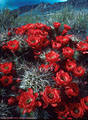 Flowering Claret Cup Cactus, foothills of the western Organ Mountains