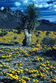 Yucca and large expanse of Mexican Poppies, foothills of the western Organ Mountains
