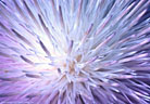 The blossom of a New Mexico thistle provides an abstract pattern, Aguirre Springs Recreation Area