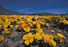 A nice display of Mexican Poppies, Eastern Organ Mountains foothills.