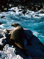 An old Cow Sea Lion suns herselfon a ledge worn smooth by years of usage. Plaza Island, Islas Galápagos, Ecuador