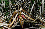 Sphinx Moth Emerges from Hiding in Hedgehog Cactus  - Southern Organ Mountains, New Mexico
