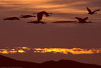 Sunset, five Sandhill Cranes in flight, and a single Snow Goose.