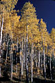 A stand of very tall Aspen Trees in full fall colors, East Dallas Creek Road.