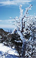 Wind and snow decorate a tree, high in the Organ Mountains.