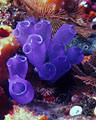 Bluebell Tunicates with Sponges and Bryzoans, Sea mount, Hog Islands, (Cayos Cochinos), Honduras