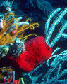 Caribbean Underwater Gallery II - Marine sponges of deeper water