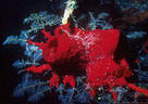 Caribbean Underwater Photography Gallery II - Colorful Marine Sponges