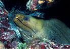 Moray Eel portrait, West Bay, Grand Cayman Island, BWI