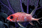 Squirrelfish by purple Sea Fan,  Bloody Bay, Little Cayman Island, BWI