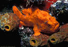 Orange Frogfish with lure extended, Balboa Wreck, Grand Cayman Island, BWI